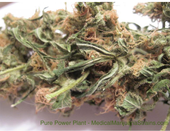 Pure Power Plant Bud