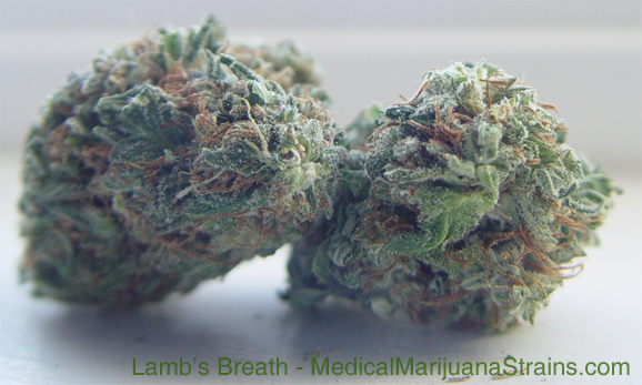 lambs breath