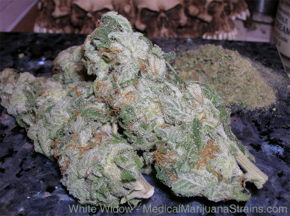 white widowWhite Widow Kush