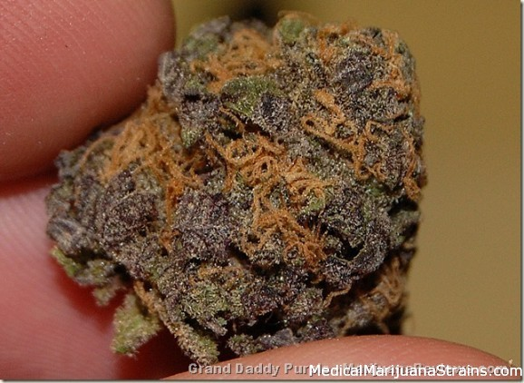 Ken's Grand Daddy Purple (black tar pheno)