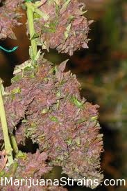Black Cherry Soda Marijuana Strain