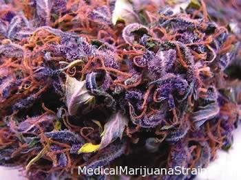 LEARN WHICH STRAIN OF MARIJUANA TREATS WHICH MEDICAL CONDITION HERE Riot_Seeds_-_Double_Black_Doja